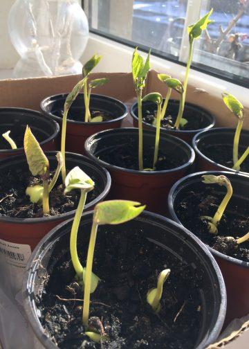 pronkbonen aan het ontkiemen